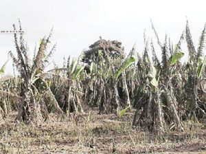 Farms gone, tree crops stripped bare – Minister Daniel